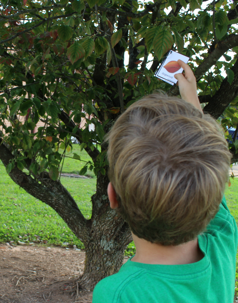 Printable Leaf Identification Chart and Cards Set - Looking for the leaves in the trees on the cards.