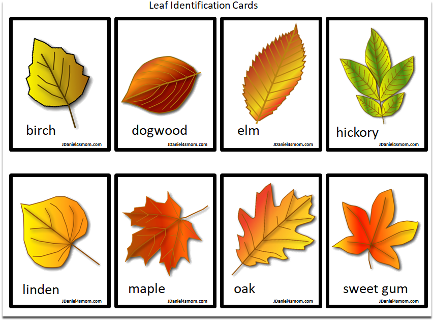 Leaf Identification Chart And Cards